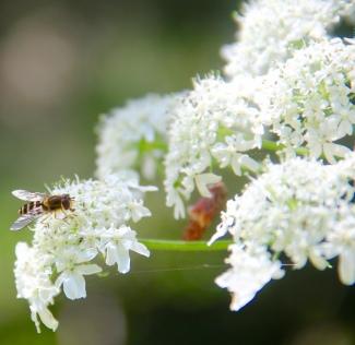 Pollinator in California