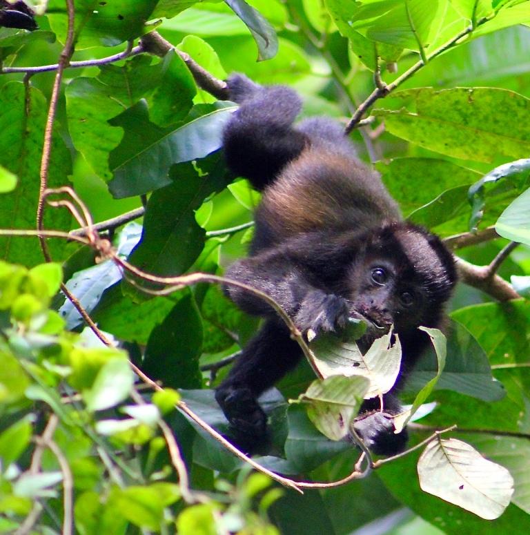 h.monkey